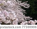 cherry blossom, spring, flower 77300906