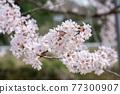 cherry blossom, spring, flower 77300907