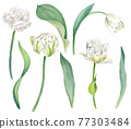 White tulips with leaves, bright vector watercolor 77303484