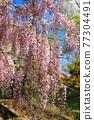 紫藤 紫藤花架 花朵 77304491