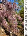 紫藤 紫藤花架 花朵 77304494