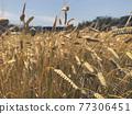 추수할 때가 된 농장의 수확물 77306451