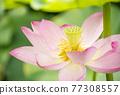 蓮花 大賀蓮 花朵 77308557
