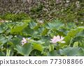 蓮花 大賀蓮 花朵 77308866