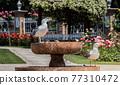 Seagull as sea bird in rose garden by the fountain 77310472