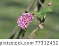 Flowering currant 77312432