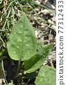Common lungwort 77312433