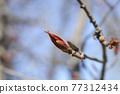 Norway maple Crimson King 77312434
