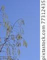 Common birch 77312435