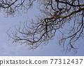English oak 77312437
