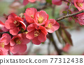Japanese Flowering Quince 77312438