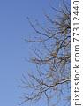 White poplar 77312440