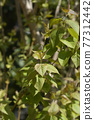 Lilac leaves 77312442
