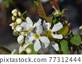 Pearl bush Snow White 77312444