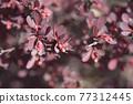 Purple Japanese barberry 77312445