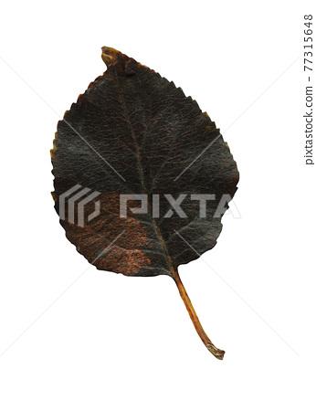 Isolated black autumn leave 77315648