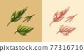 Mustard plant. Spicy condiment. Green leaves. Harvest concept. Illustration for Vintage background 77316716