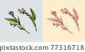 Mustard plant. Spicy condiment. Harvest concept. Illustration for Vintage background or poster 77316718