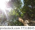 oak tree view from below 77318645