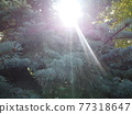 Blue pine branches with sun shining through 77318647