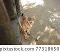 Feral cat looking up 77318650