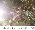 Looking upwards along birch trunk 77318659