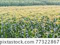 biei, field, corn 77322867