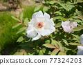 모란 꽃 77324203