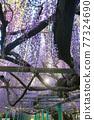 西寒田 신사의 등나무 77324690