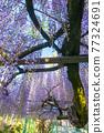 西寒田 신사의 등나무 77324691