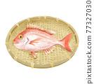 鯛魚 鯛 魚 77327030