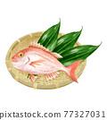 鯛魚 鯛 魚 77327031