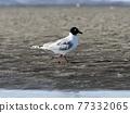Black-backed gull adult bird Natsu feather 77332065