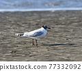 summer plumage, bird, birds 77332092