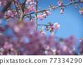 [마츠다 마치 마츠다 산 만개의 카와 벚꽃과 동박새] 77334290