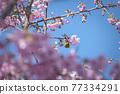 [마츠다 마치 마츠다 산 만개의 카와 벚꽃과 동박새] 77334291