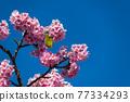 [마츠다 마치 마츠다 산 만개의 카와 벚꽃과 동박새] 77334293