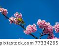 [마츠다 마치 마츠다 산 만개의 카와 벚꽃과 동박새] 77334295