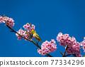 [마츠다 마치 마츠다 산 만개의 카와 벚꽃과 동박새] 77334296
