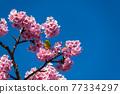 [마츠다 마치 마츠다 산 만개의 카와 벚꽃과 동박새] 77334297