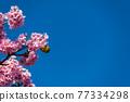 [마츠다 마치 마츠다 산 만개의 카와 벚꽃과 동박새] 77334298