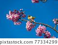 [마츠다 마치 마츠다 산 만개의 카와 벚꽃과 동박새] 77334299