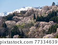 Snowy Mountains and Cherry Blossoms 77334639