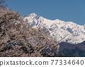 one cherry tree, cherry blossom, northern alps 77334640