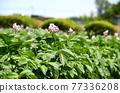 감자 꽃 77336208