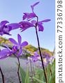 실란의 꽃 77336798