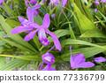 실란의 꽃 77336799