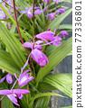 실란의 꽃 77336801