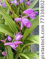 실란의 꽃 77336802