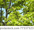 young leafe, spring, blue sky 77337323
